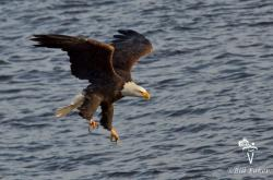 one of many eagles that make their home at lock and damn 14